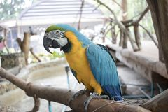 Blue, yellow, green, black and white parrot standing on a branch Stock Image