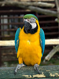 Blue, Yellow and Green Parrot Royalty Free Stock Photo