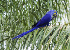 Blue and yellow hyacinthe macaw head in a tropical background.  Stock Photography