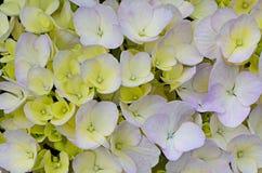 Blue and yellow Hydrangea Royalty Free Stock Photos