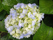 Blue yellow Hydrangea hortensia flowers blossoming in the gard Royalty Free Stock Photo