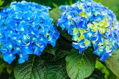 Blue and yellow hydrangea (macrophylla) Royalty Free Stock Photos