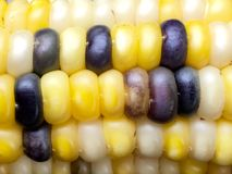 Blue and yellow Indian corn Stock Photography