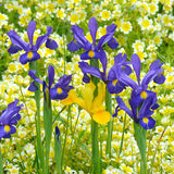 Blue and Yellow Iris. Blue and Yellow Iris in the flower border of an English country cottage garden Royalty Free Stock Photos