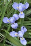 Blue and yellow iris flowers Stock Photos