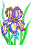 Blue-yellow iris, painting Royalty Free Stock Image
