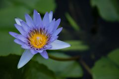 Blue and yellow lotus flower. Found in every temple in Thailand royalty free stock photography