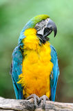 Blue-and-yellow Macaw – (Ara ararauna). The big motley parrot sits on a dry branch of an arbor Stock Photography