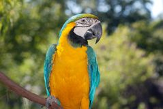 Blue-yellow Macaw Stock Photo