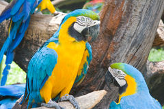 Blue and yellow macaw Royalty Free Stock Photos