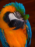 Blue-Yellow Macaw stock image