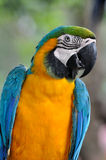 Blue and yellow Macaw. A portrait of a blue and yellow Macaw, who has beautiful feather and black strip on white face Stock Photos