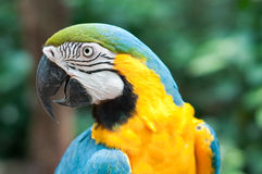 Blue-and-yellow macaw. In Iguassu, Brazil royalty free stock photos