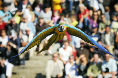 Blue-and-yellow macaw. (Ara ararauna) flying in a show Stock Photography