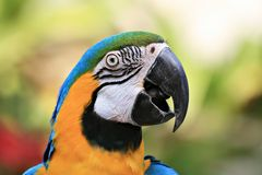 Blue-and-yellow Macaw. Sitting in a tree Stock Images