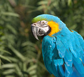 Blue and Yellow Macaw. Royalty Free Stock Photos