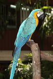 A Blue-and-Yellow Macaw Royalty Free Stock Photo