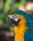 Blue-and-Yellow Macaw Stock Image