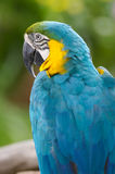 Blue And Yellow Macaw. A close up shot of the Blue and Yellow Macaw Royalty Free Stock Images