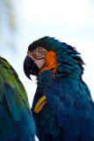 Blue and yellow macaw. Latin name Ara ararauna Royalty Free Stock Image