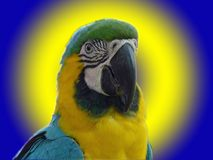 Blue and Yellow Macaw. Blue and Yellow or Gold Macaw on glowing blue background Royalty Free Stock Photo