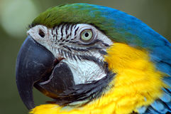 Blue and Yellow Macaw. Closeup of blue and yellow macaw stock image