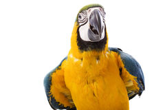 Blue-and-yellow Macaw. (Ara ararauna) on white background Stock Image