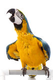 Blue-and-yellow Macaw. (Ara ararauna) on white background Royalty Free Stock Photos