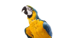 Blue-and-yellow Macaw. (Ara ararauna) on white background Stock Photo