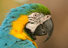 Blue-and-yellow Macaw. Portrait of a brightly colored Blue-and-yellow Macaw (Ara ararauna stock photography