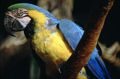 Blue and Yellow Macaw. In Garden Royalty Free Stock Image
