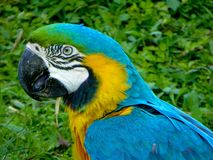 A Blue-and-Yellow Macaw Royalty Free Stock Image