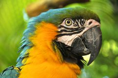 The Blue-and-Yellow Macaw. Also known as the Blue-and-Gold Macaw, is a large blue (top parts) and yellow South American parrot, a member of the large group of Stock Image