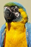 The Blue-and-Yellow Macaw Royalty Free Stock Photography