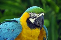 The Blue-and-Yellow Macaw Royalty Free Stock Photos