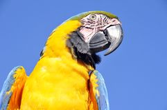 The Blue-and-Yellow Macaw Stock Images