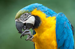 Blue-and-yellow Macaw - (Ara ararauna). The big parrot a Macaw cleans the beak Royalty Free Stock Photography
