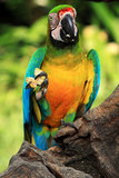 Blue-and-yellow macaw [Ara ararauna] Stock Photo