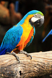 Blue-and-yellow macaw [Ara ararauna] Royalty Free Stock Photos