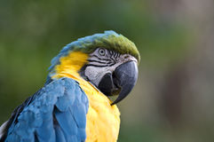 Blue-and-Yellow Macaw  - Ara ararauna. Close-up of a Blue-and-Yellow Macaw  - Ara ararauna Royalty Free Stock Images