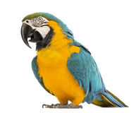 Blue-and-yellow Macaw, Ara ararauna, 30 years old Royalty Free Stock Photo