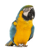 Blue-and-yellow Macaw, Ara ararauna, 30 years old. In front of white background stock photography