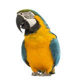 Blue-and-yellow Macaw, Ara ararauna, 30 years old. In front of white background stock images