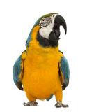 Blue-and-yellow Macaw, Ara ararauna, 30 years old. In front of white background Royalty Free Stock Image