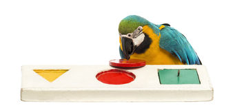 Blue-and-yellow Macaw, Ara ararauna, 30 years old, playing with a puzzle. In front of white background stock image