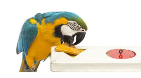 Blue-and-yellow Macaw, Ara ararauna, 30 years old, playing with a puzzle. In front of white background stock photos