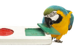 Blue-and-yellow Macaw, Ara ararauna, 30 years old, playing with a puzzle Stock Photography
