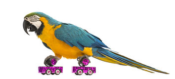 Blue-and-yellow Macaw, Ara ararauna, 30 years old, roller skating. In front of white background stock photo