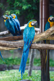 Blue-and-Yellow Macaw (Ara ararauna), also known as the Blue-and Stock Photos