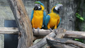 Blue-and-Yellow Macaw, Ara ararauna, also known as the Blue-and-Gold Macaw stock video footage